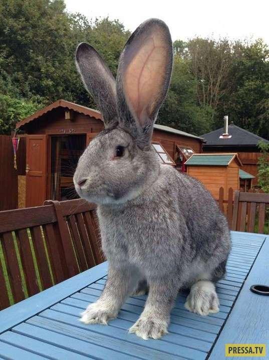 Кролики-великаны (9 фото)