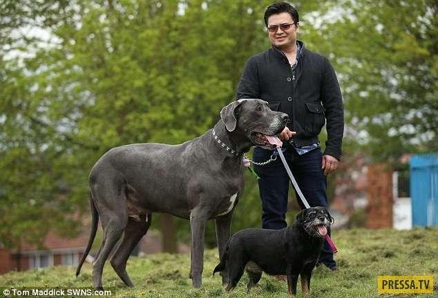 Британский пёс-великан, который весит... 98 кг! (7 фото)