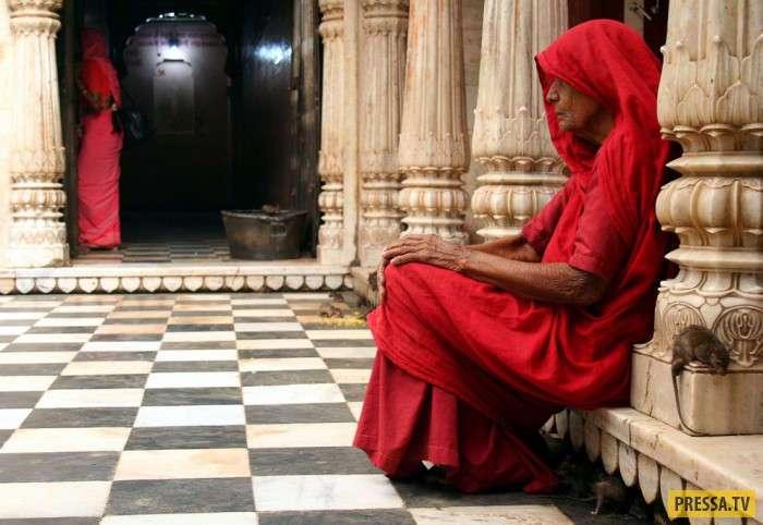 Индийский храм крыс Шри Карни Мата, Нервным смотреть не рекомендуется... (17 фото)