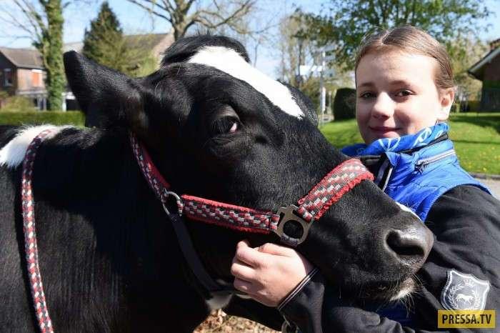 Школьница из Германии воспитала корову как ездовую лошадь (8 фото)