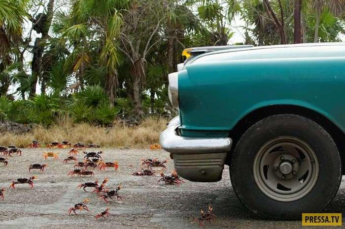 Миграция крабов на южном побережье Кубы (17 фото)