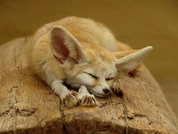 Вот для чего на ушах у кошек есть такие маленькие кармашки