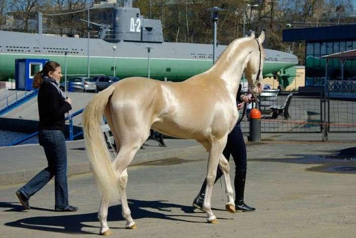 """Встречайте редкое создание, которое в народе прозвали """"самой красивой лошадью в мире"""""""