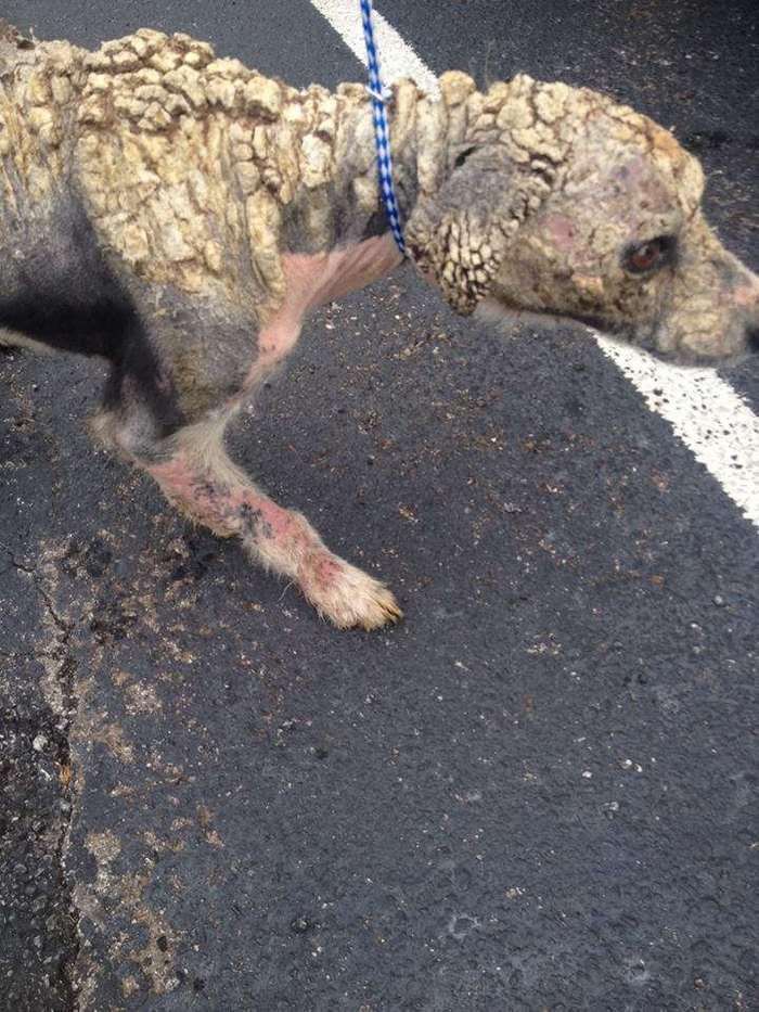 Жестокие люди довели собаку до страшного состояния... Смотрите, что с ней стало