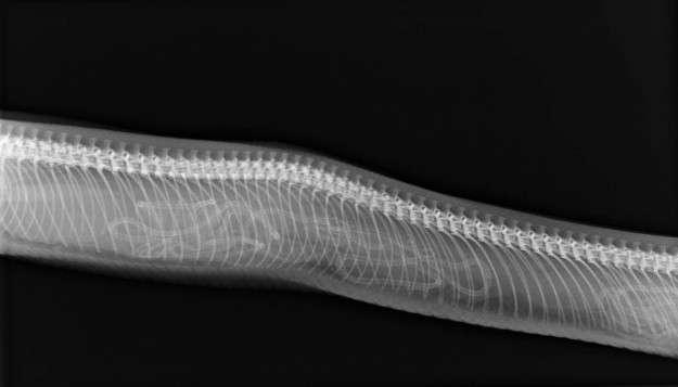 16 восхитительных рентгеновских снимков беременных животных