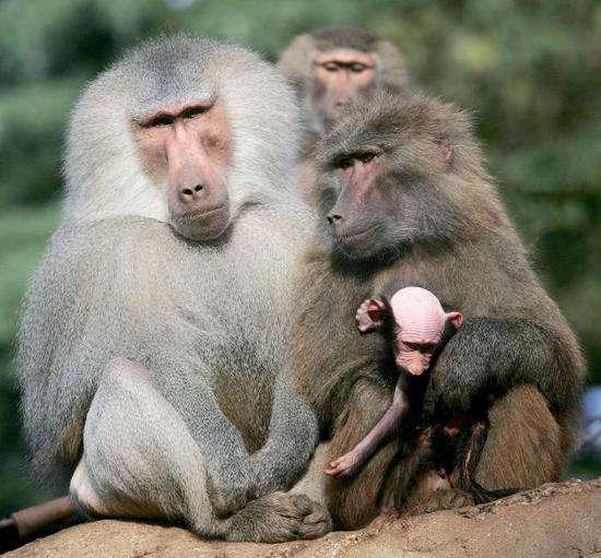 Когда в этой стае обезьян вымерли альфа-самцы, случилось нечто неожиданное. Мужчинам стоит задуматься!