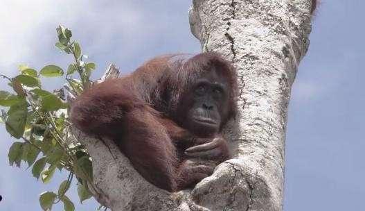 Этот орангутан живет на последнем дереве, которое осталось после того, как люди уничтожили ее дом