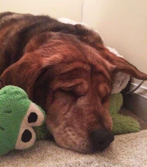 Очаровательные животные, спящие в обнимку с игрушками. Часть 1 (28 фото)
