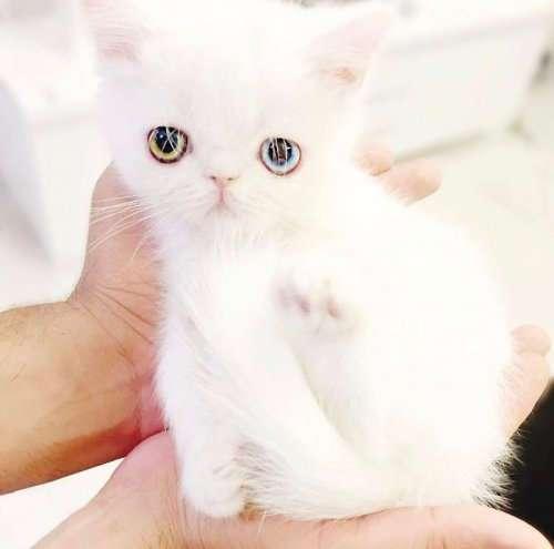 Пам-Пам, крошечный котёнок с гетерохромией, чьи глаза вас заворожат (11 фото)