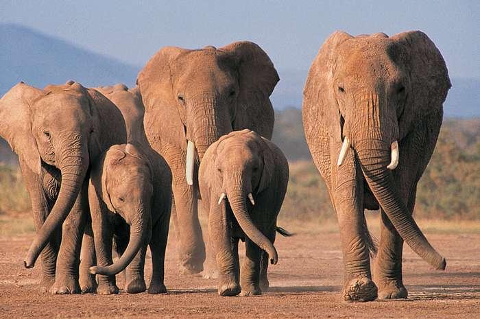 У большинства животных нет бабушки, но у слонов есть! Вот что они делают для семьи
