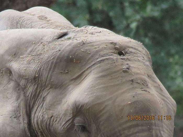 Слон бился головой о деревья из-за сильной боли. Причина его страданий ужасает!