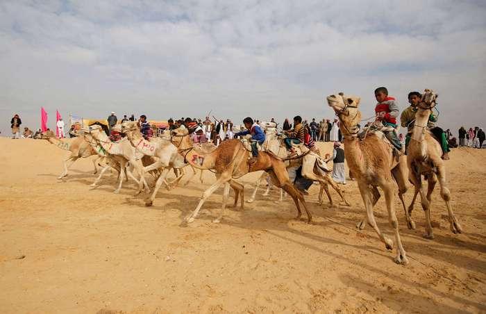 Как в Египте проходят скачки на верблюдах
