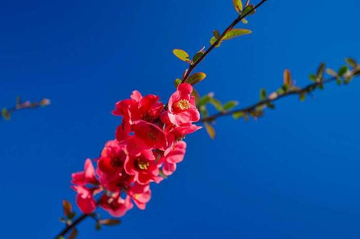 Прекрасное цветение японской айвы в Крыму