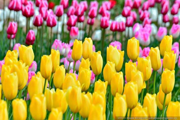 Красота крымских тюльпанов в Никитском саду