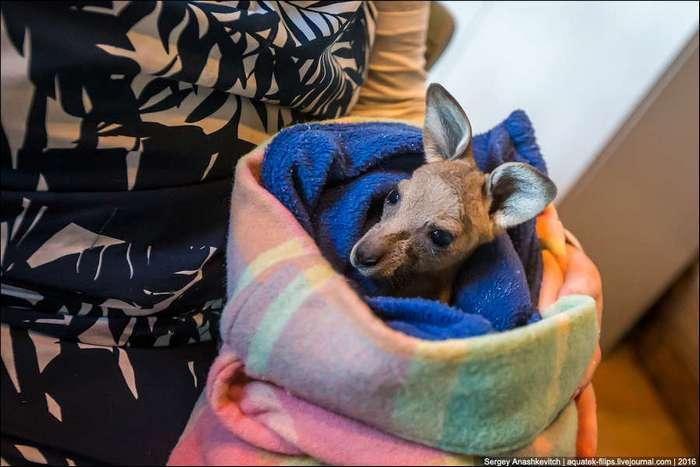 Приют для детенышей кенгуру в Австралии