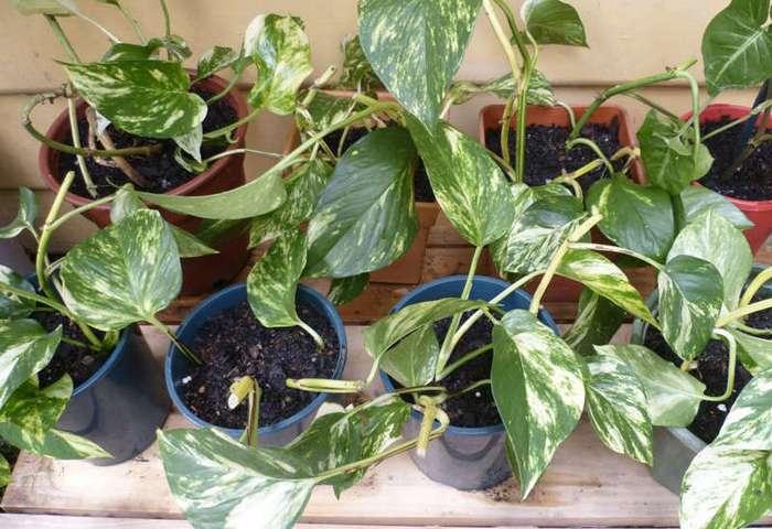 Какие комнатные растения являются натуральными воздухоочистителями