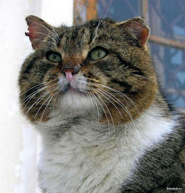 Воено-морской кот Василий (3 фото)