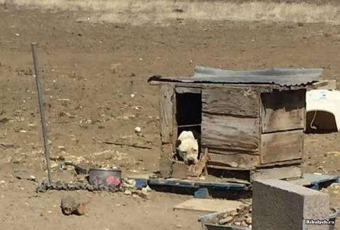 Грустная собака просидела на цепи всю жизнь (8 фото)