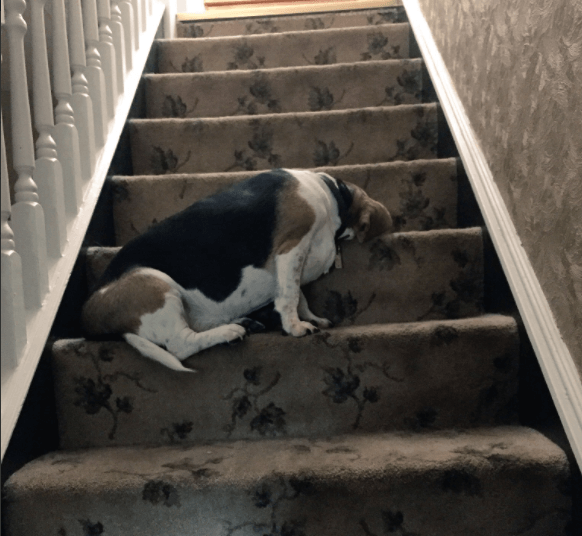 Забавные собаки, которые могут уснуть как и где угодно