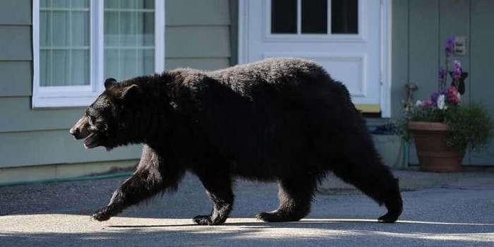 Уступите дорогу: 15 опасных животных, прогулявшихся по городским улицам