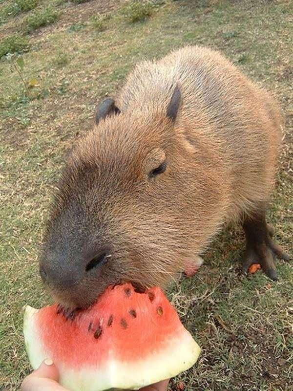 20 прелестных животных, которые просто обожают арбузы