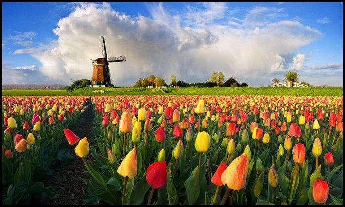 Как тюльпаны изменили Голландию
