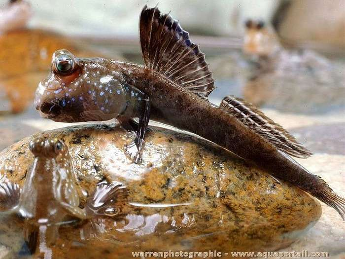 Рыба, ползущая на дерево