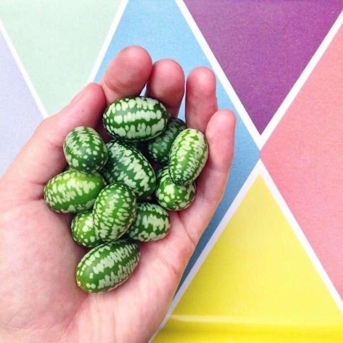 Мелотрия шершавая – смесь огурца и арбуза
