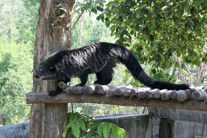Бинтуронг – котомишка