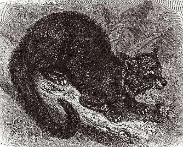 Бинтуронг - котомишка
