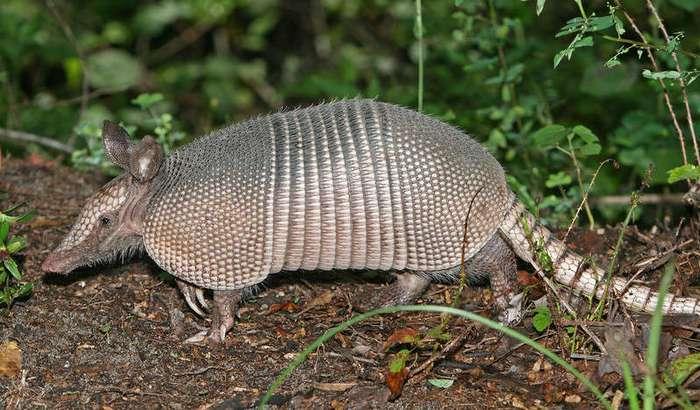 Удивительные животные нашей планеты - броненосцы