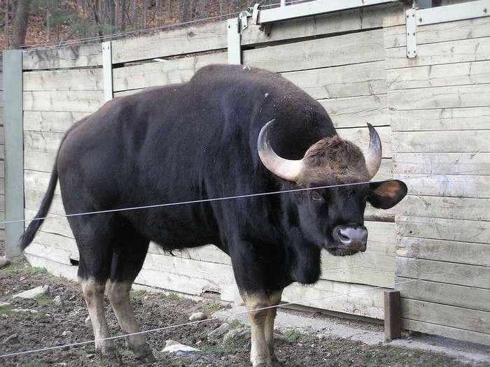 Самый большой дикий бык в мире