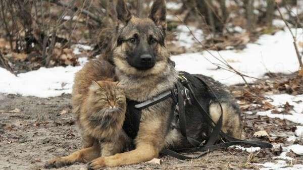 Кот, выросший среди псов, работает -провокатором- в центре подготовки служебных собак