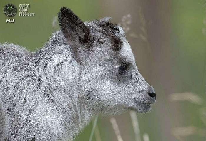 Японский сероу: волк в овечьей шкуре