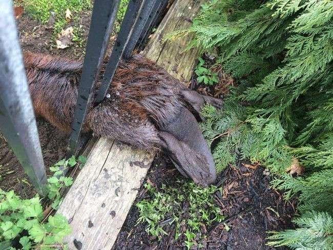 Достали с мылом: Толстый бобер застрял в заборе