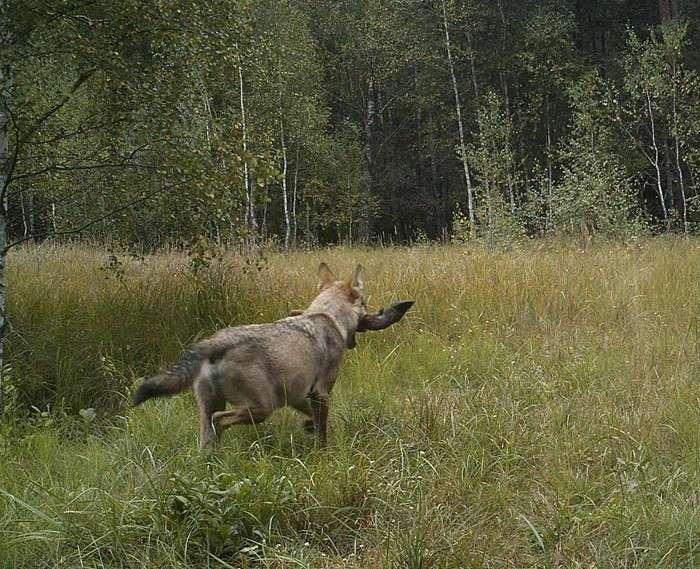 Он установил фотоловушки возле Чернобыля. Камера зафиксировала невероятное!