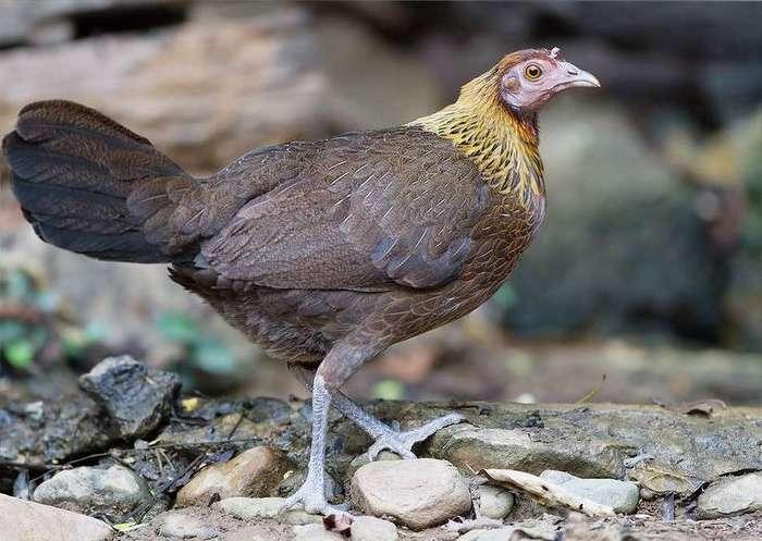 Предок домашних кур