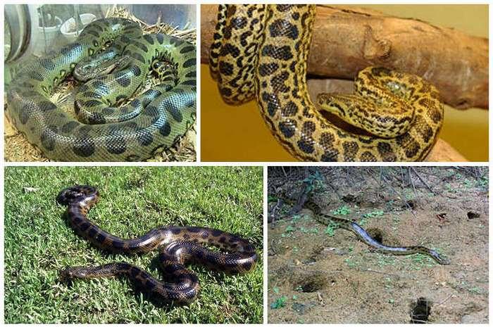 Пост восторга и восхищения самой большой змеей - анакондой