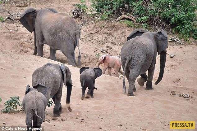В Африке туристы обнаружили слонёнка-альбиноса (6 фото)
