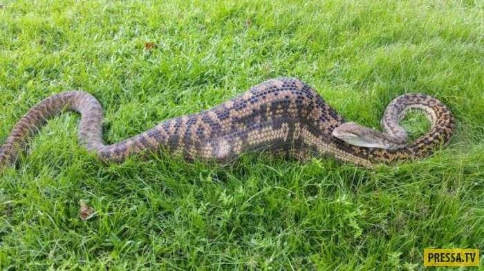 Растолстевшего питона приняли за крокодила (3 фото + видео)