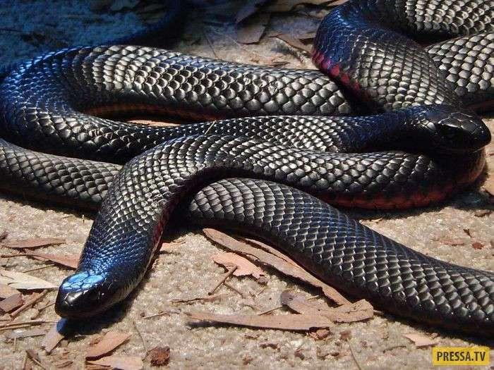 Если вы боитесь змей, то воздержитесь от поездки в Австралию (21 фото)