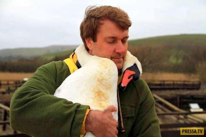 Благодарный лебедь (5 фото)