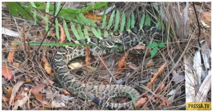 Он долго искал встречи с ... гремучей змеёй, но она сама нашла его... (2 фото + видео)