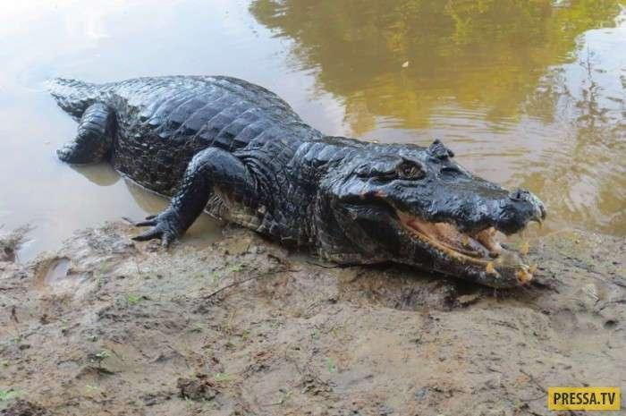 Самые опасные монстры из Амазонки (10 фото)