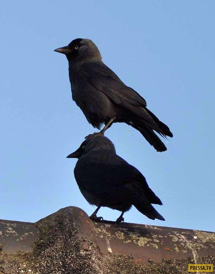 Очень наглые вороны (20 фото)