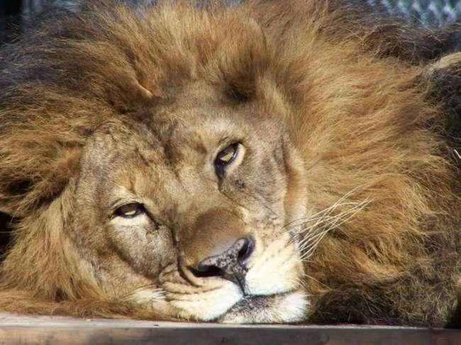 Он был болен, когда приехал в зоопарк. Вот что сотворила с ним любовь этой львицы!