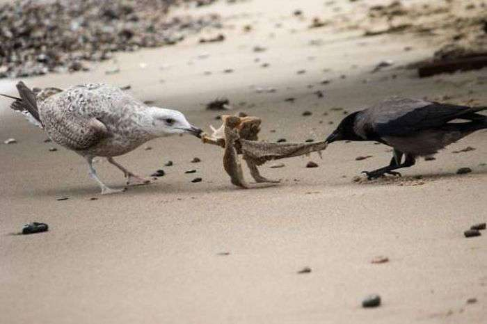Интересные фото с воронами (42 фото)
