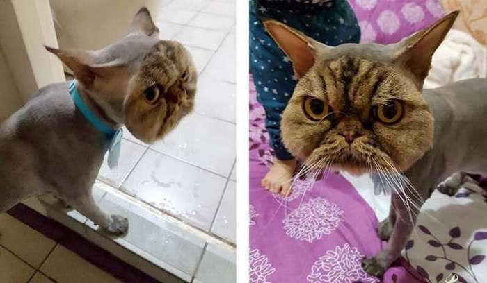 Неудачная стрижка превратила важного кота в посмешище (5 фото)