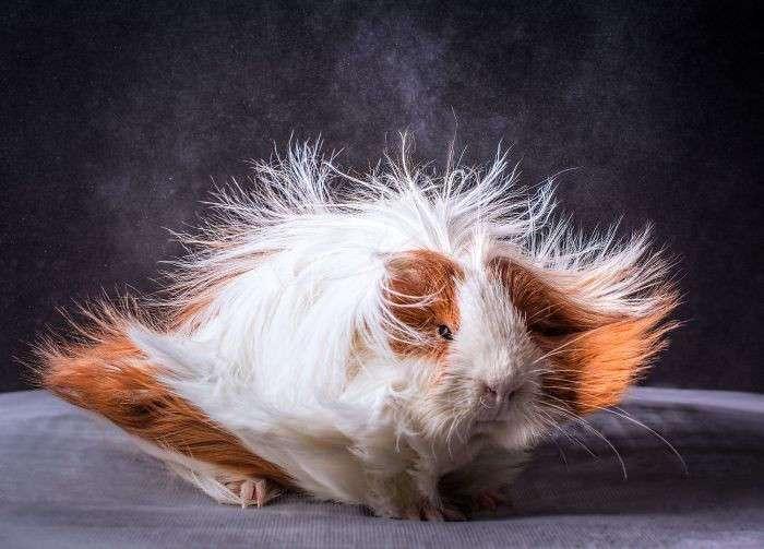 Приз за самую завидную гриву достаётся морским свинкам (27 фото)