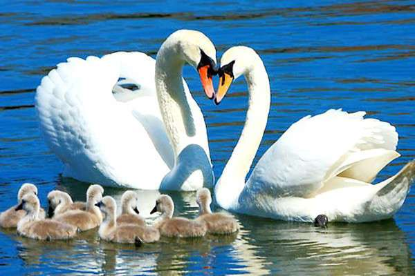 Верность лебедей: правда или легенда? (3 фото)
